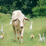 A cow grazing in the forest surrounded by Egrets
