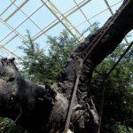 Imlitala Tree, Vrindavan