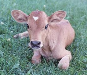calf.L