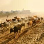 Roving Herds of Grazing Climate Helpers