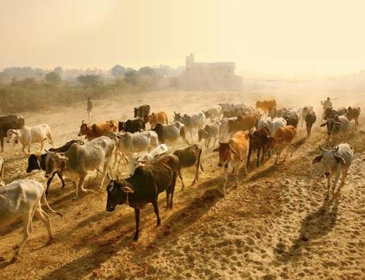 roving.cows.L