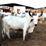 Mathura to become a 'protected zone for the cows'
