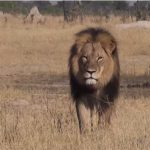 Eating Chicken Is Morally Worse than Killing Cecil the Lion