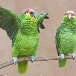 """Parrots say """"Hari bol"""" """"Hare Kṛṣṇa"""""""