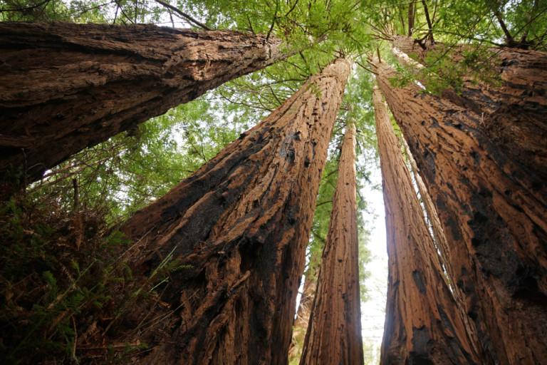 redwoods-768x512