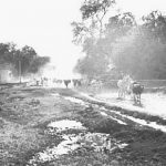 Cows on Vrindavan parikrama marg, early 1970s
