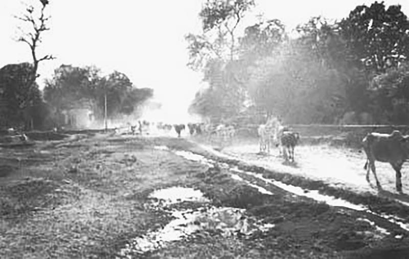 Cows-on-Vrindavan-parikrama-marg-early-1970s.