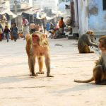 Under siege by monkeys, Vrindavan cops fortify stations