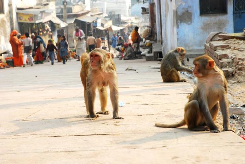 Monkeys-in-the-way-to-Govind-Dev-Temple-Vrindavan-780x522