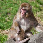 Monkeys attack a Radha Vallabh Goswami