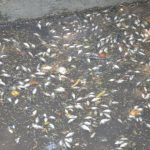 Chemical in Yamuna killed thousands of fishes