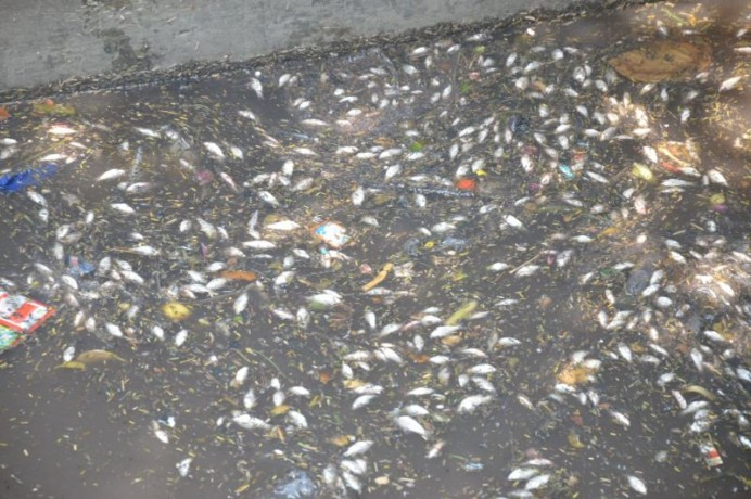 dead-fish-in-yamuna