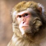 Monkey menace in Braj, several lives affected