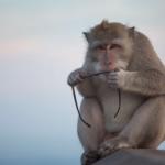 Monkey Safari may be the solution to Braj's monkey problem